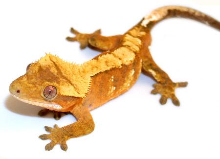 crested geckos for sale